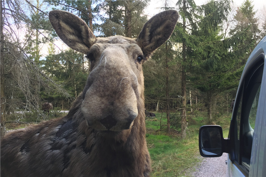 斯马兰迪麋鹿野生动物园Transfer to Smålandet Moose Safari