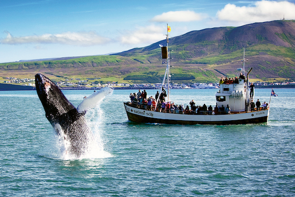 jumping-humpback-with-husavik-in-the-background的副本.jpg